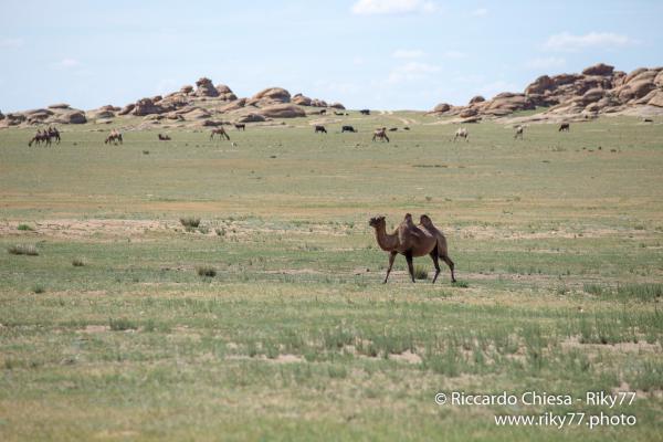 Camel - Gobi desert