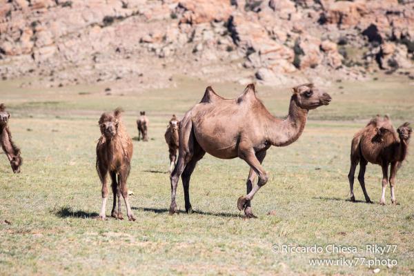 Baby Camel - Gobi desert