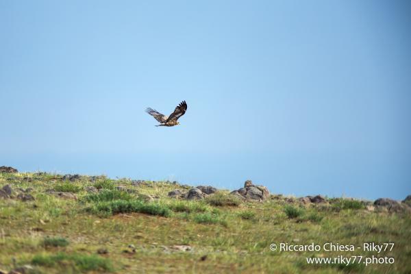 Eagle - Gobi desert